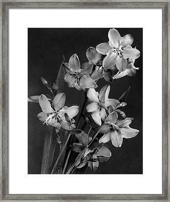 Montbretia Blossoms Framed Print