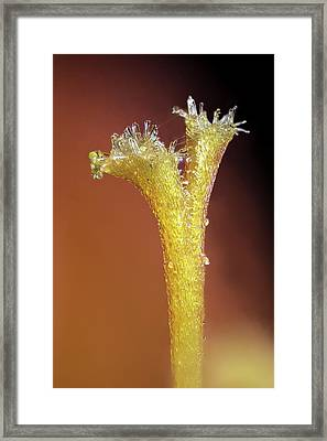 Montbretia Flower Stigma Framed Print by Karl Gaff