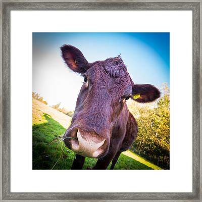 Moo Cow Framed Print