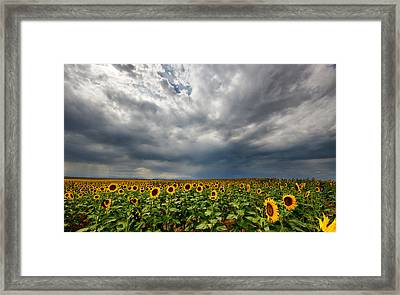 Moody Skies Over The Sunflower Fields Framed Print