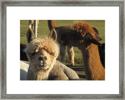 Moonacre Alpacas 2 Framed Print
