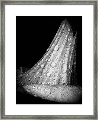 Moonflower And Rainwater  Framed Print by Chris Berry