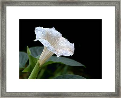 Moonflower - Rain Drops Framed Print by Nikolyn McDonald