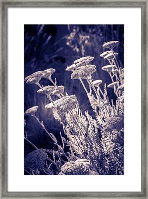 Moonlight Yarrow Framed Print by Dave Garner