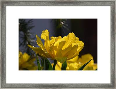 Moonlit Tulips Framed Print by Maria Urso