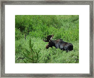 Moose 2 Framed Print