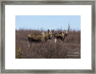 Moose And Calf Framed Print by Al Sheldon