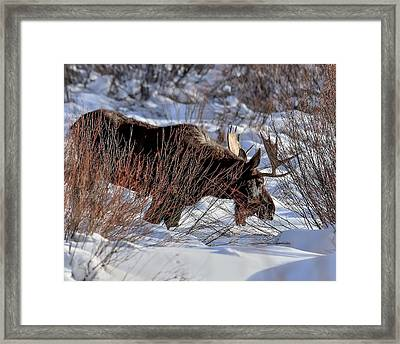 Framed Print featuring the photograph Moose At Sunset In Winter by Yeates Photography