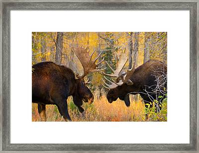 Moose Battle Framed Print by Aaron Whittemore