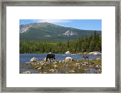 Moose Baxter State Park Maine Framed Print by Glenn Gordon