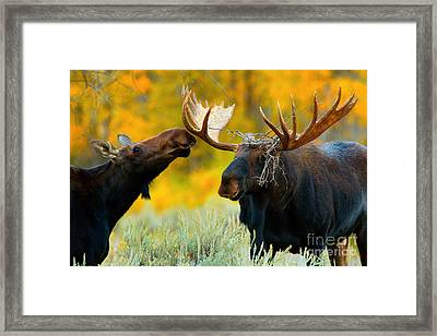 Framed Print featuring the photograph Moose Be Love by Aaron Whittemore