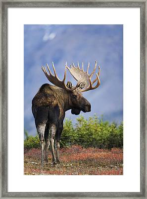 Moose Bull Walking On Autumn Tundra Framed Print by Milo Burcham