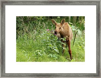 Moose Calf Eats Summer Grasses Framed Print by Jeff Schultz