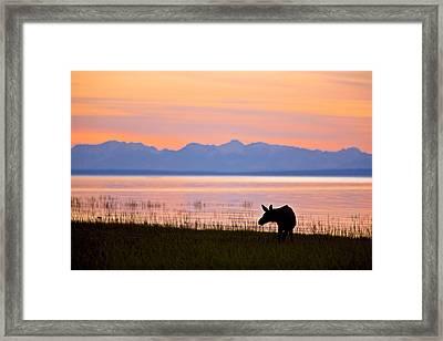 Moose Calf Feeding Along The Tony Framed Print