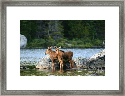 Moose Calves In Maine Framed Print by Jeannette Hunt