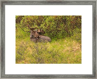 Moose Cleaning Itself Framed Print