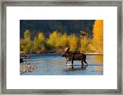 Framed Print featuring the photograph Moose Crossing by Aaron Whittemore