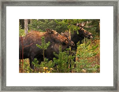 Moose Family At The Shredded Pine Framed Print