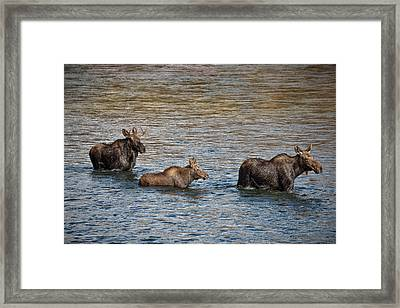 Moose Family Framed Print by Leland D Howard