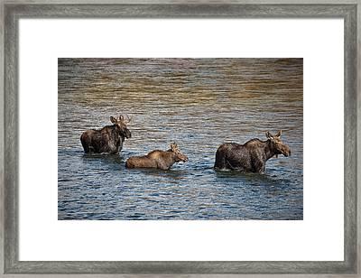 Moose Family Framed Print