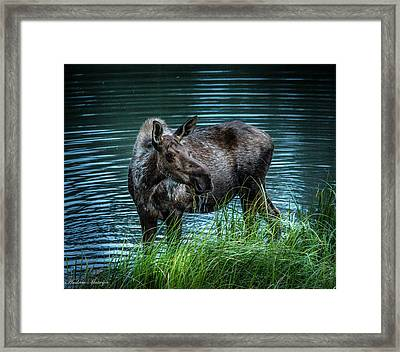 Moose In The Water Framed Print