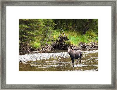 Moose In Yellowstone National Park   Framed Print