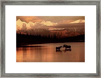Moose Kissing In Wonder Lake Denali Np Framed Print