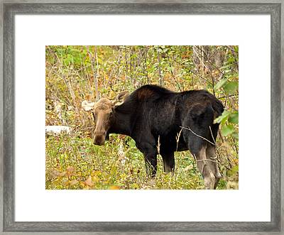 Framed Print featuring the photograph Moose by James Peterson
