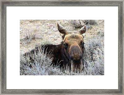 Moose Mugshot Framed Print