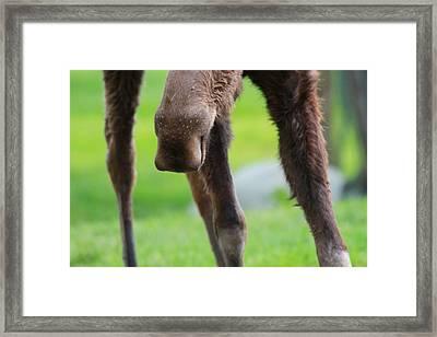 Moose Nose Framed Print