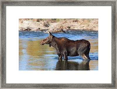 Moose On The  Gros Ventre River Framed Print