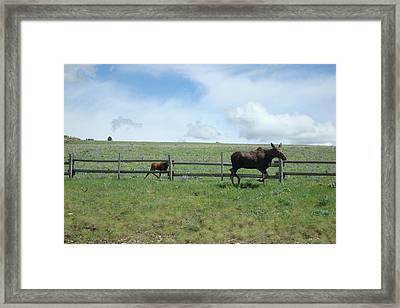 Moose On The Move Framed Print