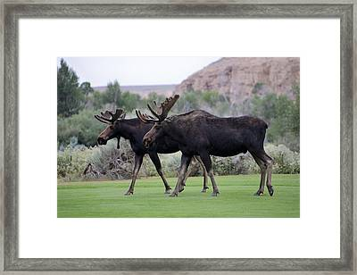 Moose Stroll Framed Print