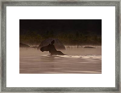 Moose Swim Framed Print