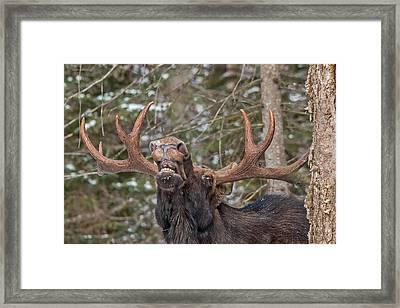 Moose Teeth Framed Print