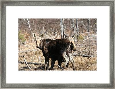 Moose X Two Framed Print by Carolyn Reinhart