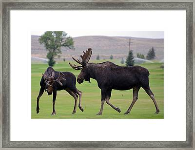 Moosin' Around Framed Print