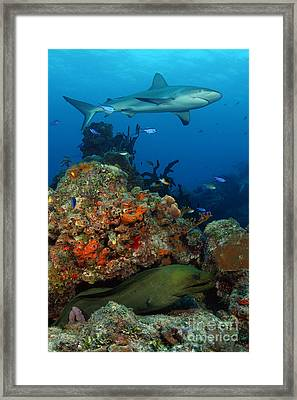 Moray Reef Framed Print by Carey Chen