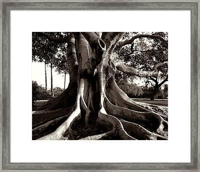 Moreton Bay Fig Framed Print