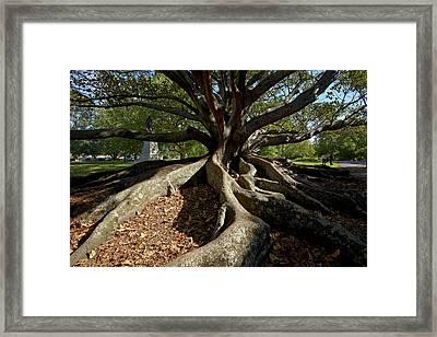 Moreton Fig Tree (ficus Macrophylla Framed Print by David Wall