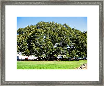Moreton Fig Tree In Santa Barbara Framed Print