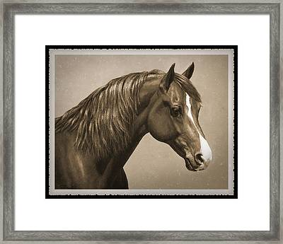 Morgan Horse Old Photo Fx Framed Print by Crista Forest
