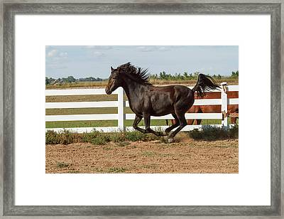 Morgan Horse Running Along White Fence Framed Print by Piperanne Worcester