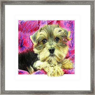 Morkie Puppy Framed Print by Jane Schnetlage