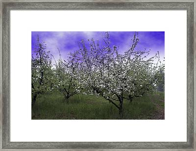 Morning Apple Blooms Framed Print