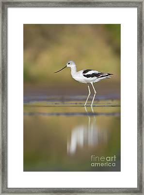 Framed Print featuring the photograph Morning Avocet by Bryan Keil