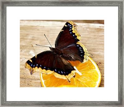 Morning Cloak Butterfly Framed Print