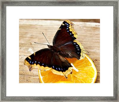 Morning Cloak Butterfly Framed Print by Carol Toepke