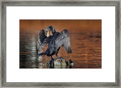 Morning Cormorant Framed Print by David Bond