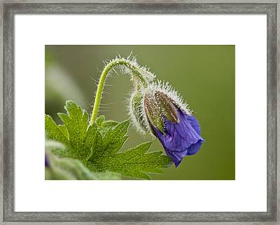 Morning Cranesbill  Framed Print